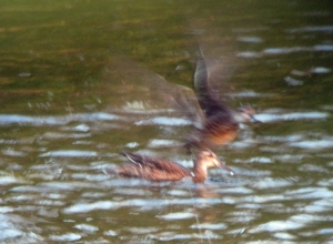 29-10-16-garganey-juv-no-6-tank-frodsham-marsh-bill-morton-14