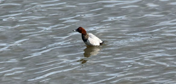 30-09-16-drake-common-pochard-no-6-tank-frodsham-marsh-paul-ralston