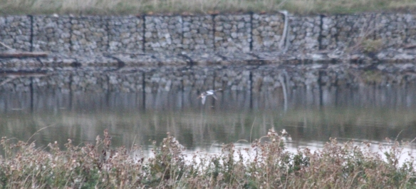 20.09.16. Red-breasted Merganser, MSC, Frodsham Marsh. Paul Ralston