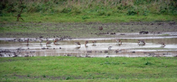 01-10-16-curlew-sandpiper-and-black-tailed-godwits-no-3-tank-frodsham-marsh-bill-morton-bill-morton-3