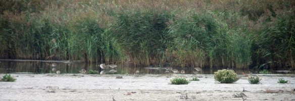 01-10-16-ruff-and-green-sandpiper-no-6-tank-frodsham-marsh-bill-morton-1