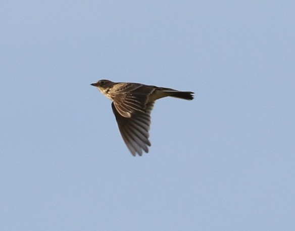 04-10-16-skylark-frodsham-marsh-tony-broome-4