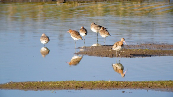 08-10-16-back-tailed-godwit-no-3-tank-frodsham-marsh-bill-morton-4