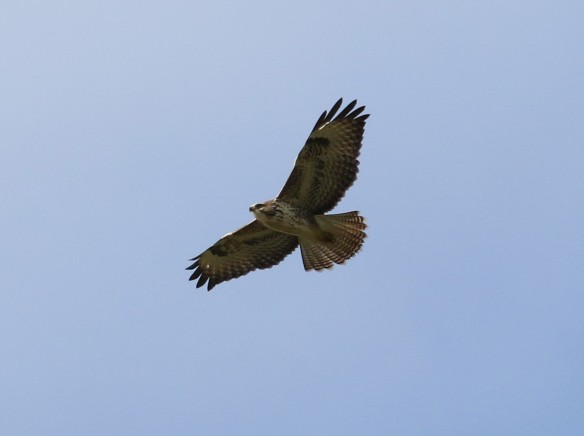 08-10-16-common-buzzard-frodsham-marsh-tony-broome-2