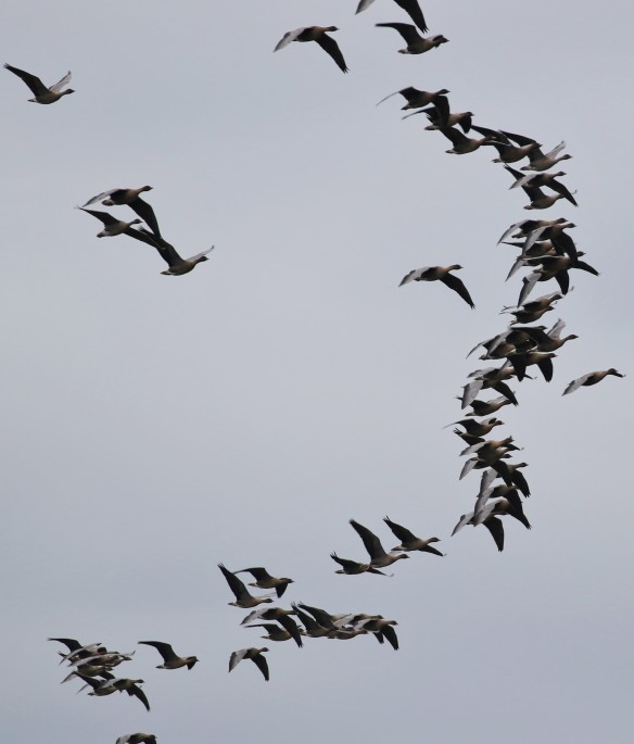 08-10-16-pink-footed-geese-over-overton-hill-frodsham-tony-broome-2