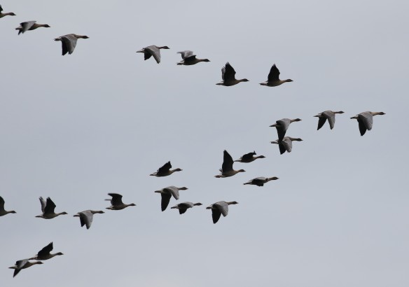 08-10-16-pink-footed-geese-over-overton-hill-frodsham-tony-broome-3