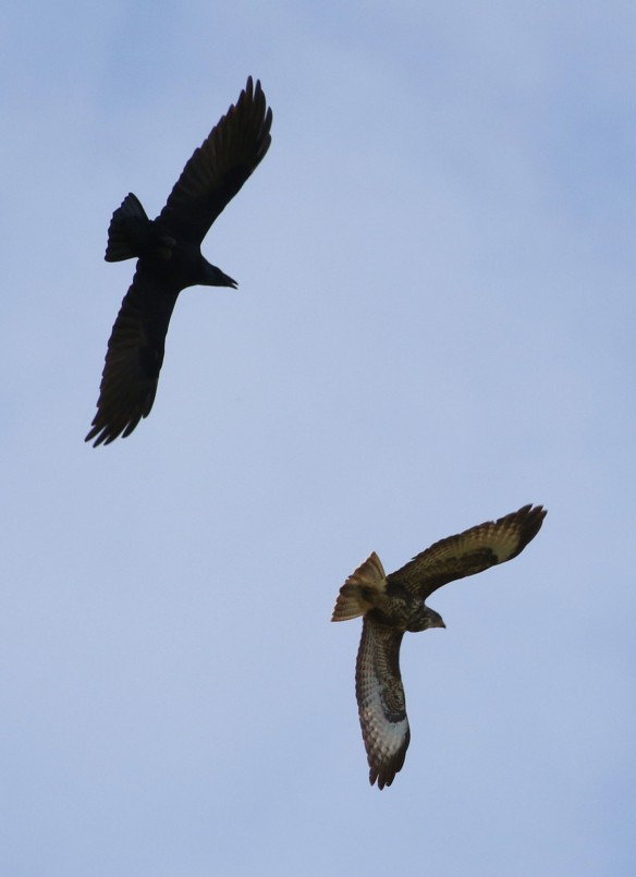 08-10-16-raven-and-common-buzzard-frodsham-marsh-tony-broome