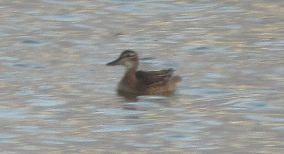 10-10-16-garganey-no-6-tank-frodsham-marsh-bill-morton-6