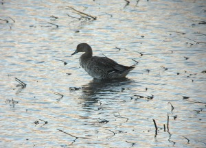 10-10-16-pintail-no-6-tank-frodsham-marsh-bill-morton-2