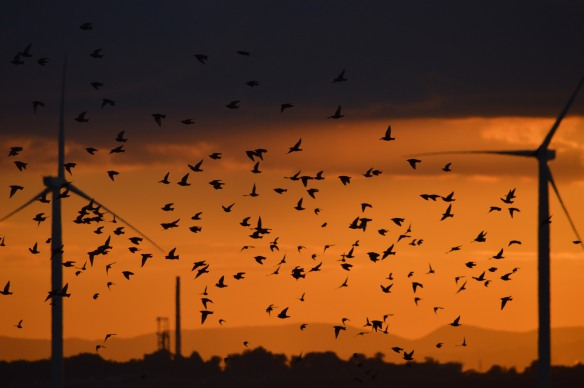 10-10-16-starlings-and-turbines-no-6-tank-frodsham-marsh-bill-morton-7