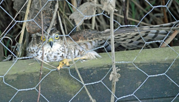 11-10-16-sparrowhawk-juvenile-female-marsh-lane-frodsham-marsh-bill-morton-1