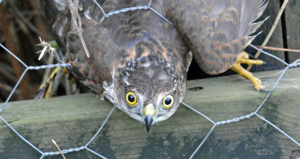 11-10-16-sparrowhawk-juvenile-female-marsh-lane-frodsham-marsh-bill-morton-14