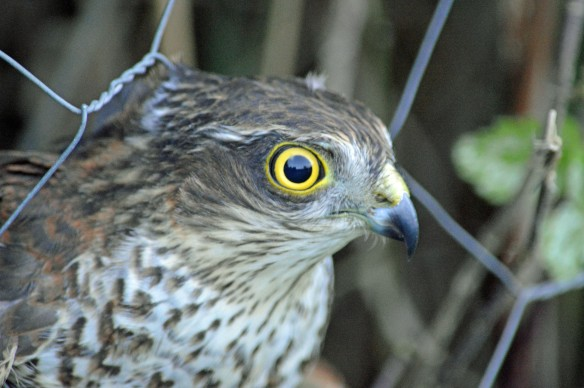 11-10-16-sparrowhawk-juvenile-female-marsh-lane-frodsham-marsh-bill-morton