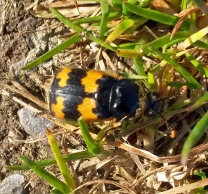 15-10-16-common-sexton-beetle-by-the-manchester-ship-canal-frodsham-marsh-bill-morton