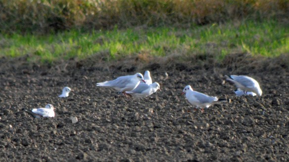17-10-16-adult-mediterreanean-gull-moorditch-lane-frodsham-marsh-bill-morton-4