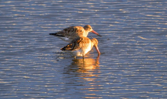 17-10-16-black-tailed-godwits-no-6-tank-frodsham-marsh-bill-morton-1