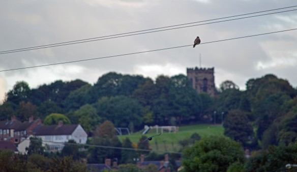 17-10-16-kestrel-and-view-of-churchfields-from-moorditch-lane-frodsham-marsh-bill-morton-3