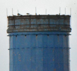 17-10-16-peregrines-on-the-blue-topped-chimney-weston-point-bill-morton-10