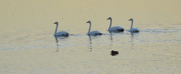 21-10-16-whooper-swans-no-6-tank-frodsham-marsh-bill-morton