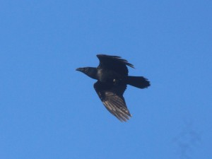 22-10-16-raven-frodsham-marsh-bill-morton-3