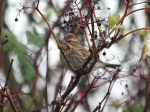 22-10-16-reed-bunting-frodsham-marsh-bill-morton-2
