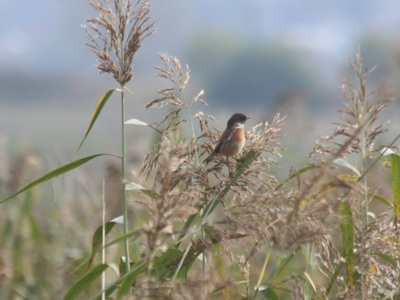 22-10-16-stonechat-frodsham-marsh-bill-morton-1