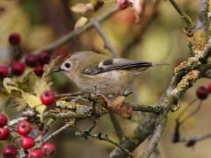 23-10-16-goldcrest-frodsham-marsh-tony-broome-1
