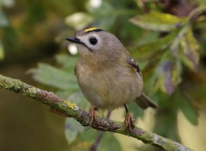 23-10-16-goldcrest-frodsham-marsh-tony-broome-2