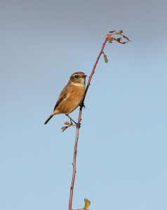 23-10-16-stonechat-redwall-reed-bed-frodsham-marsh-tony-broome