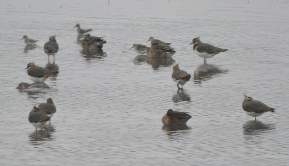 29-10-16-curlew-sandpipers-no-6-tank-frodsham-marsh-bill-morton