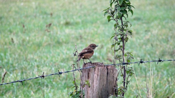 29-10-16-female-stonechat-no-a-1-tank-frodsham-marsh-bill-morton