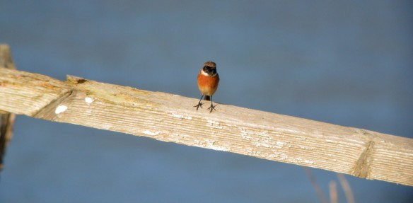 15.10.16. male Stonechat, Pumping Station, Frodsham Marsh. Bill Morton.