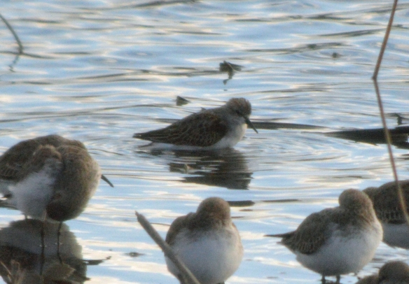 05-11-16-dunlin-and-little-stint-no-6-tank-frodsham-marsh-bill-morton-17