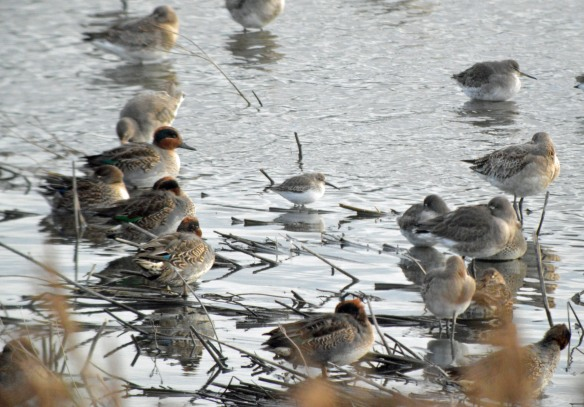 05-11-16-dunlin-long-billed-bird-no-6-tank-frodsham-marsh-bill-morton-11