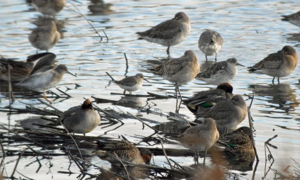05-11-16-dunlin-long-billed-no-6-tank-frodsham-marsh-bill-morton-21