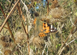 05-11-16-painted-lady-butterfly-no-6-tank-frodsham-marsh-bill-morton-4