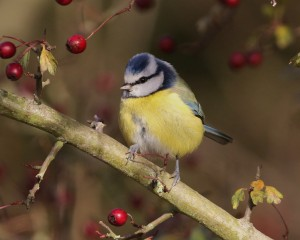 19-11-16-blue-tit-brook-furlong-lane-frodsham-marsh-tony-broome