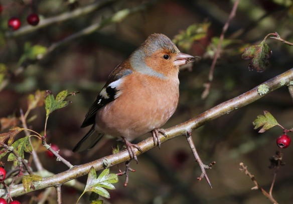 19-11-16-chaffinch-brook-furlong-lane-frodsham-marsh-tony-broome