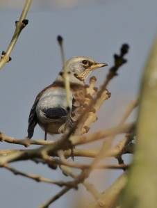 19-11-16-fieldfare-brook-furlong-lane-frodsham-marsh-tony-broome