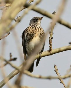 19-11-16-fieldfare-frodsham-marsh-tony-broome