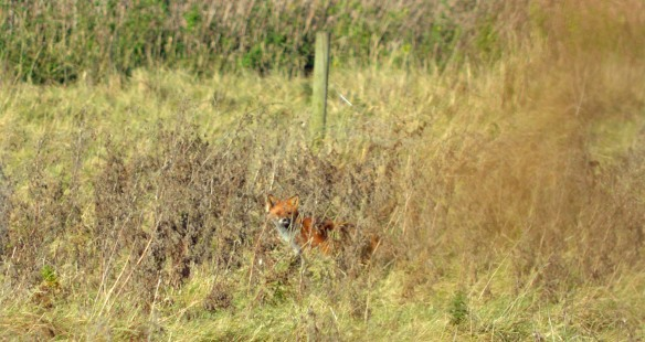 19-11-16-fox-frodsham-marsh-bill-morton