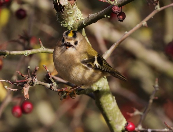19-11-16-goldcrest-brook-furlong-lane-frodsham-marsh-tony-broome-1