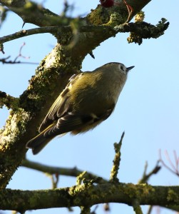 19-11-16-goldcrest-brook-furlong-lane-frodsham-marsh-tony-broome-2