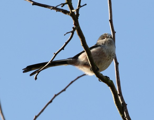 19-11-16-long-tailed-tit-brook-furlong-lane-frodsham-marsh-tony-broome