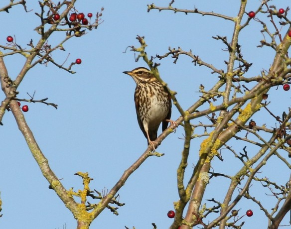 19-11-16-redwing-brook-furlong-lane-frodsham-marsh-tony-broome