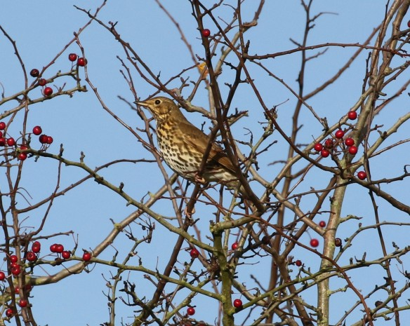 19-11-16-song-thrush-brook-furlong-lane-frodsham-marsh-tony-broome