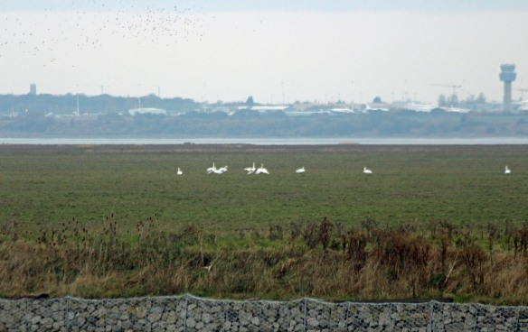20-11-16-whooper-and-mute-swans-frodsham-score-frodsham-marsh-paul-ralston-2