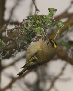 26-11-16-goldcrest-frodsham-marsh-tony-broome-7