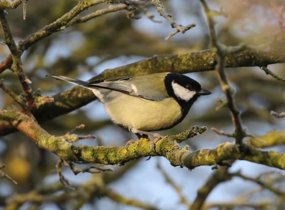 26-11-16-great-tit-frodsham-marsh-tony-broome-2