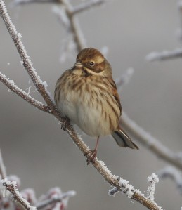 26-11-16-reed-bunting-female-frodsham-marsh-tony-broome-7